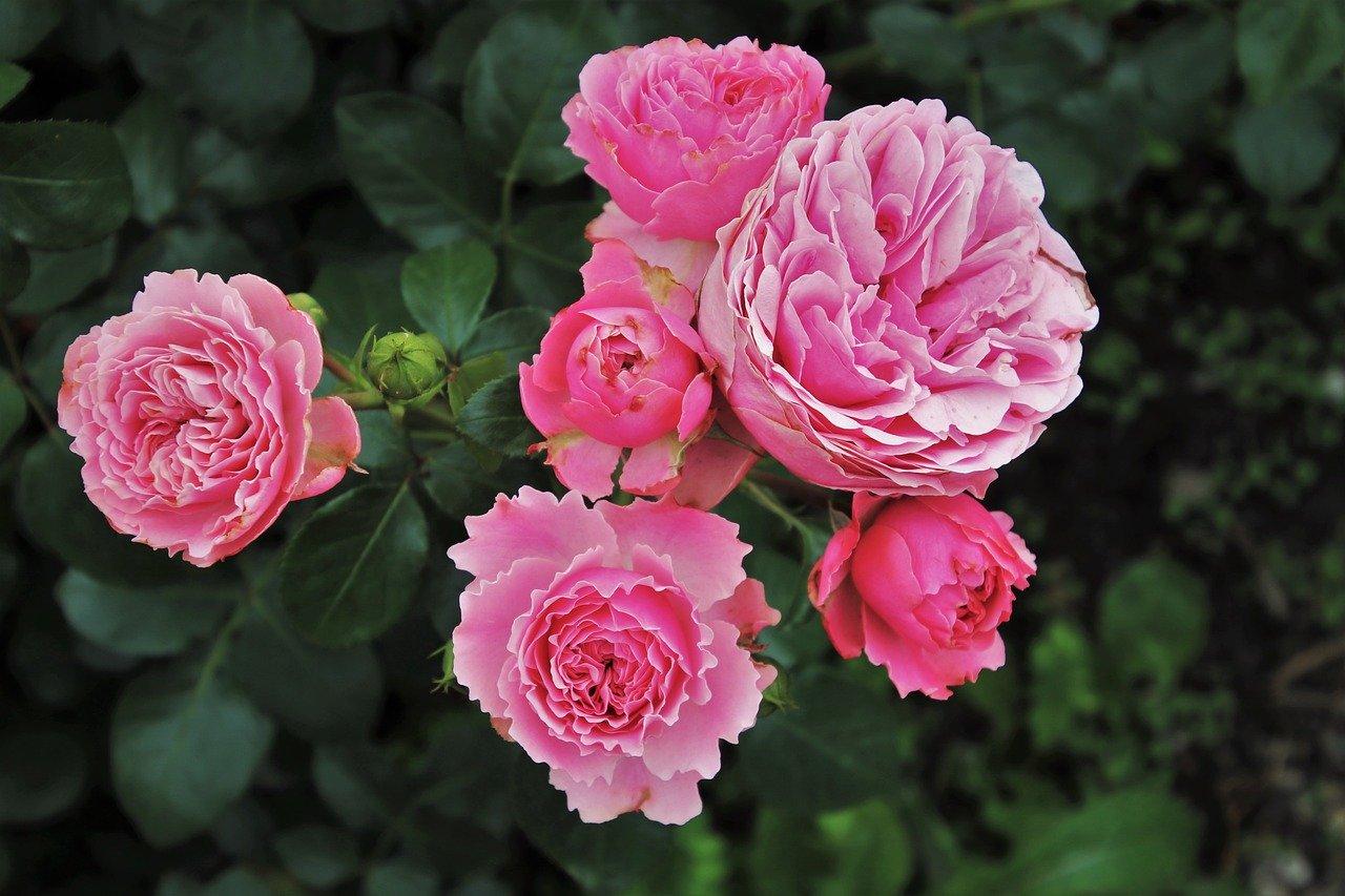 rosiers jardin